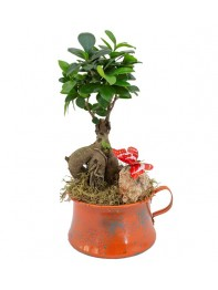 Bonsai Ficus Gingsang Orange