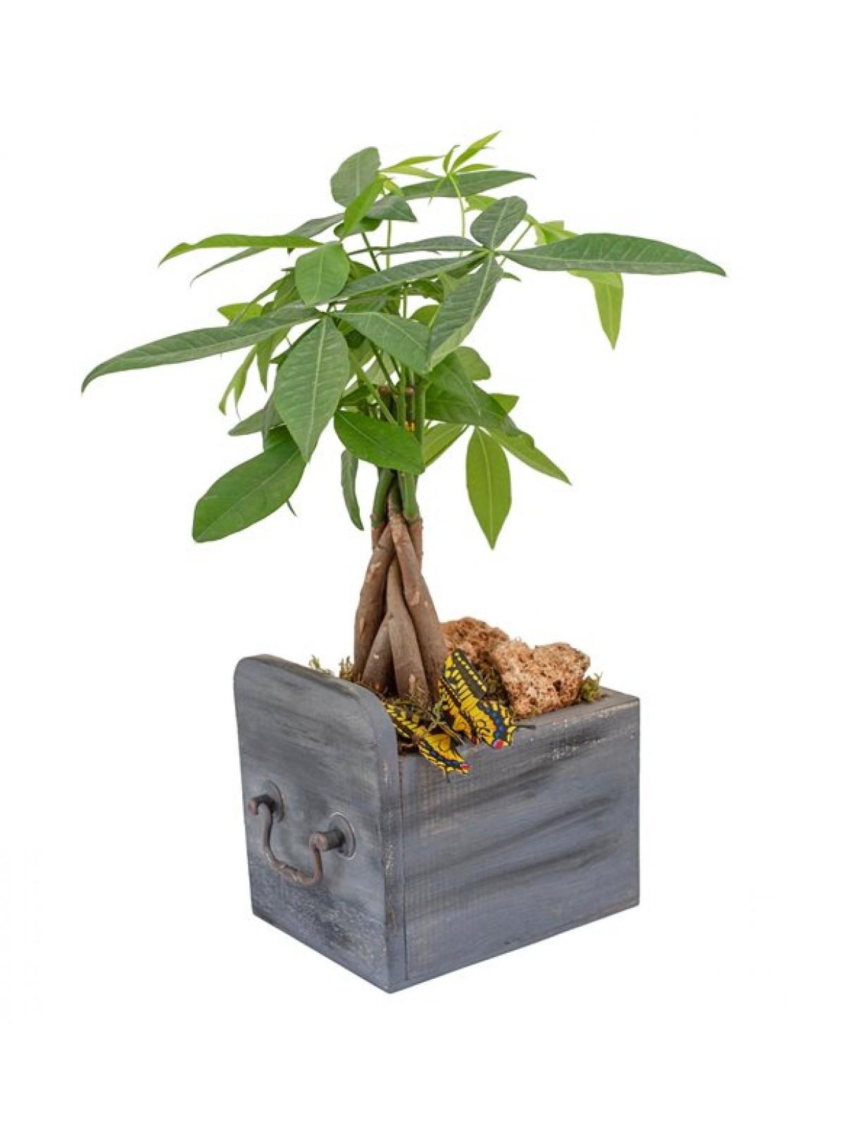 Pachira bonsai  Çekmece