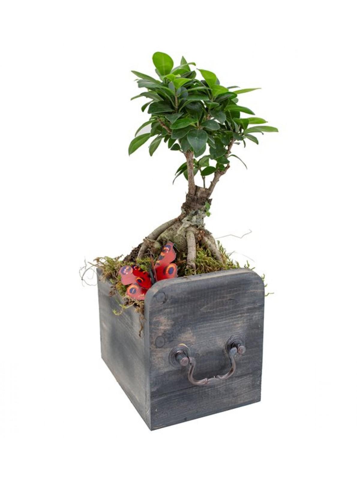 Bonsai Ficus Gingsang Osaka