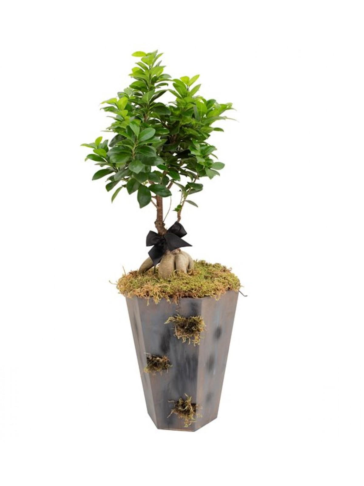Bonsai Ficus Gingseng Grey