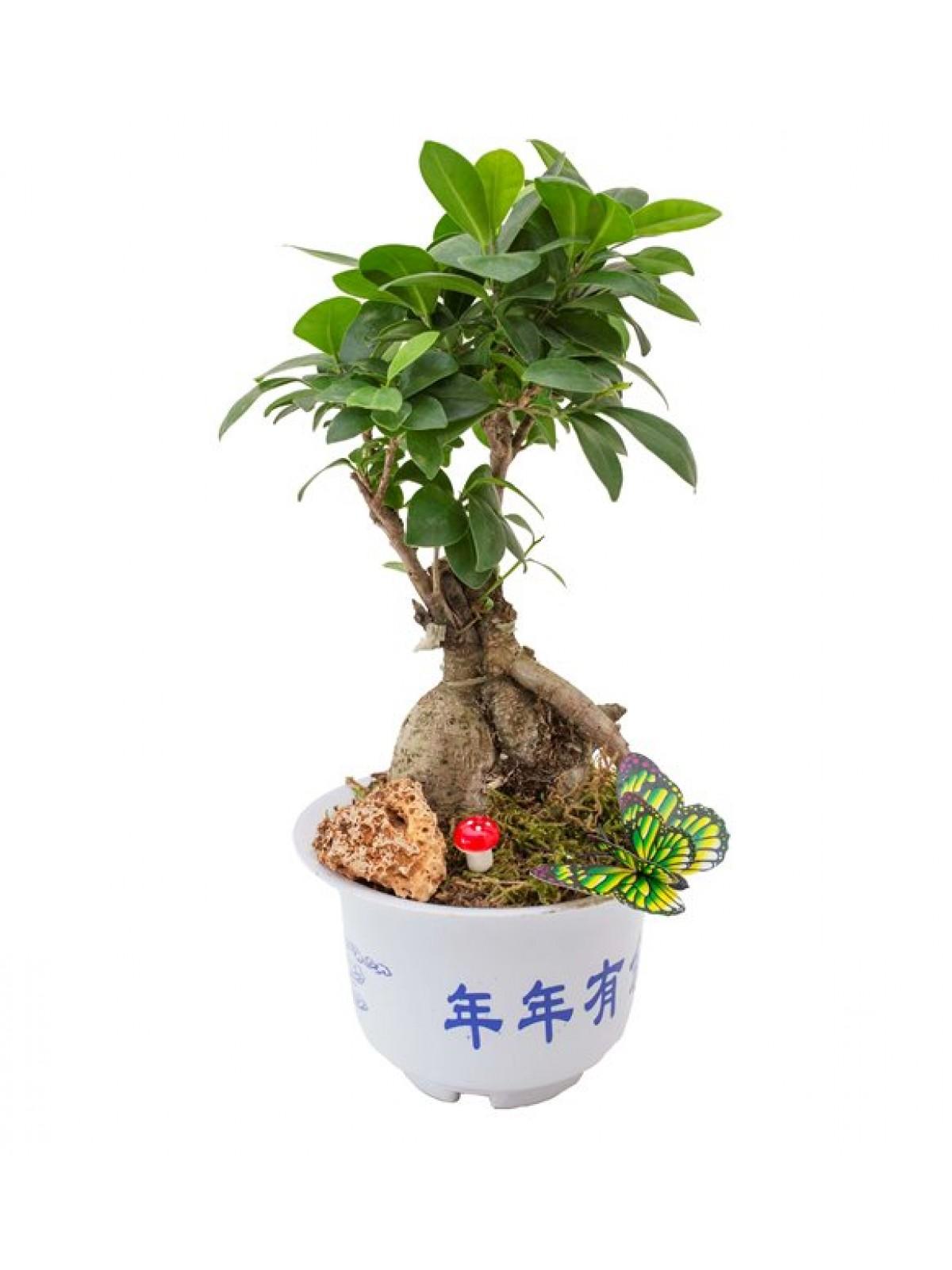 Bonsai Ficus Gingsang Original
