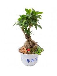 Bonsai Ficus Gingsang Original