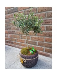 Zeytin Bonsai 1