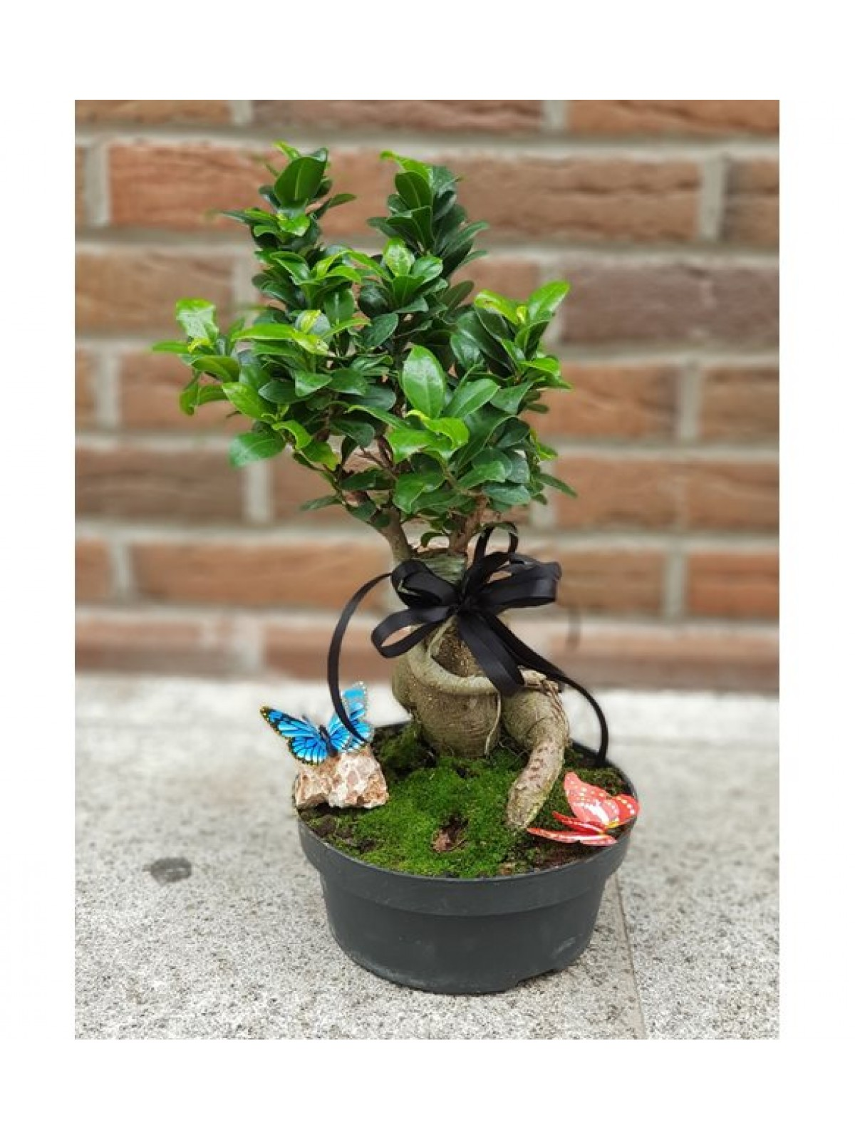 bonsai Gingsang 1
