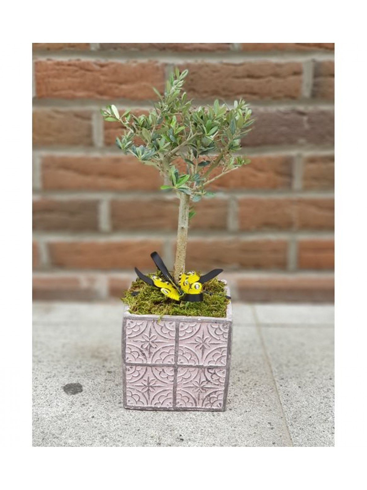 Zeytin bonsai 3 pink