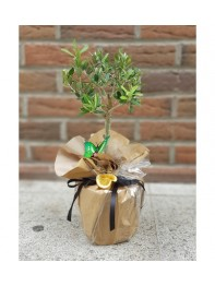 Zeytin Bonsai 4