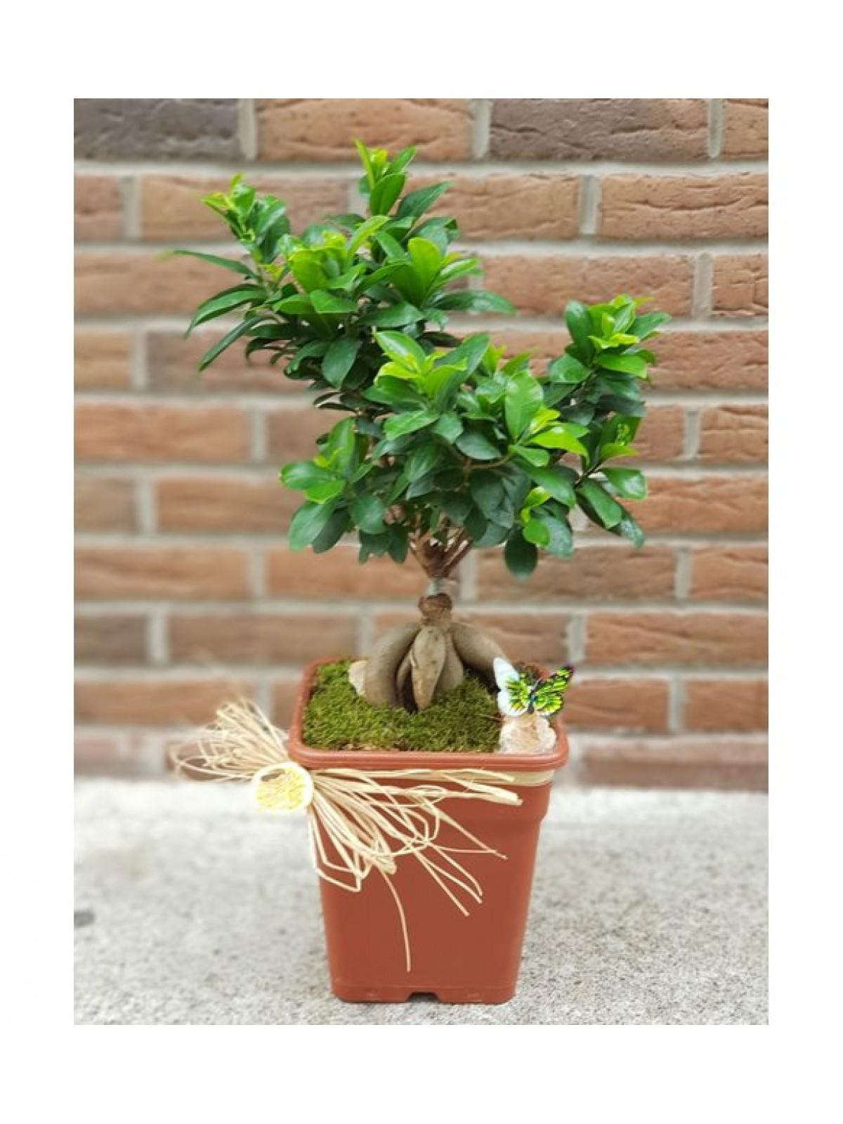 bonsai Gingsang 2